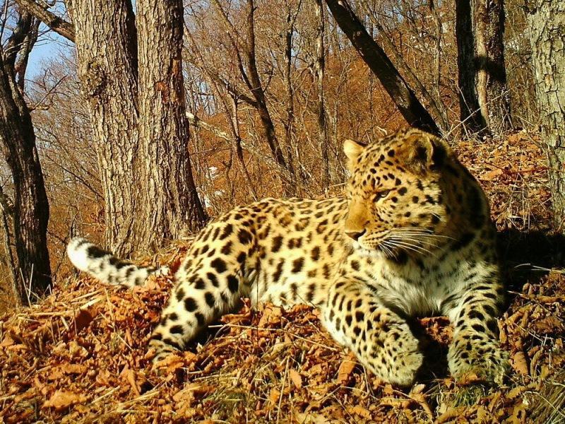 Уникальный фильм про леопардов выложен в сеть